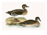 Clucking Teal   from 'A History of the Birds of Europe Not Observed in the British Isles'