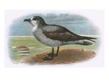 White Throated Grey Petrel