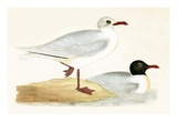Mediterranean Black Headed Gull