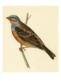 Cretzschmaer's Bunting   from 'A History of the Birds of Europe Not Observed in the British Isles'