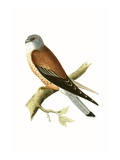Kestrel  Illustration from 'A History of the Birds of Europe Not Observed in the British Isles'