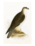 Bonelli's Eagle   from 'A History of the Birds of Europe Not Observed in the British Isles'