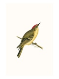 Ruby Crowned Kinglet   from 'A History of the Birds of Europe Not Observed in the British Isles'