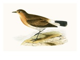 Menetries Wheatear   from 'A History of the Birds of Europe Not Observed in the British Isles'