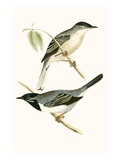 Ruppell's Warbler   from 'A History of the Birds of Europe Not Observed in the British Isles'