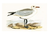 Audouin's Gull   from 'A History of the Birds of Europe Not Observed in the British Isles'