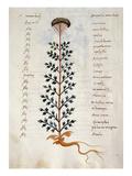 Cod CCXXXVII Artemisia  Medicinal Plant from a 'Herbarium Apuleii Platonicii'
