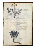 Cod CCXXXVII Artemisia and Lapparium  Medicinal Plants from a 'Herbarium Apuleii Platonicii'