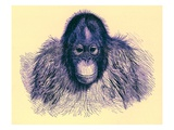 Head of Orang  Illustration from 'The Royal Natural History'  Published 1896