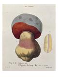 Tubiporus Cepa  Plate 176 from 'Iconographie Des Champignons De JJ Paulet' by J H Leveille