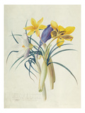 Study of Four Species of Crocus