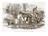 Gathering  Washing  Bunching  and Carting Carrots for the London Market