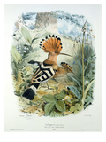 Hoopoe (Upupa Epops) (Colour Litho)