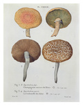 Hypodendrums Fagi and Queris  Plate 138 from 'Iconographie Des Champignons De JJ Paulet'