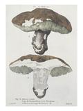 Tubiporus Esculentus  Plate 168 from 'Iconographie Des Champignons De JJ Paulet'