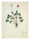 Fol1275 Geranium (W/C on Paper)