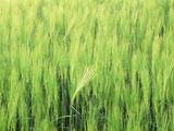 Switzerland  Rye Field