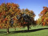 Autumn Pear Orchard in Swiss Midlands Switzerland