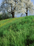 Cherry Trees Cantone Zug Switzerland