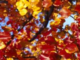Maple Leaves on a Tree  Sacramento  California  USA