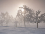 Group of Fruit Trees with Sunstar and Fog Cantone of Aargau Switzerland