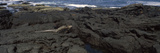 Marine Iguana (Amblyrhynchus Cristatus) on Volcanic Rock  Isabela Island  Galapagos Islands