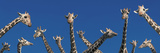 Curious Giraffes (Concept) Kenya Africa