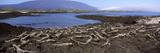 Marine Iguanas (Amblyrhynchus Cristatus) at a Coast  Fernandina Island  Galapagos Islands  Ecuador