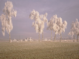 Birch Trees W\ Rime Switzerland