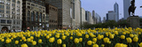 Tulip Flowers in a Park with Buildings in the Background  Grant Park  South Michigan Avenue  Chi