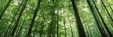 Low Angle View of Beech Trees  Baden-Wurttemberg  Germany