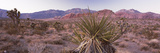 Yucca Plant in a Desert  Red Rock Canyon  Las Vegas  Nevada  USA