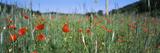 Poppies Field in Bloom  Baden-Wurttemberg  Germany