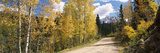Aspen Trees on Both Sides of a Road  Old Lime Creek Road  Cascade  El Paso County  Colorado  USA