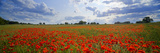 Poppies in a Field  Norfolk  England
