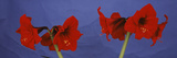 Close-Up of Amaryllis Flowers