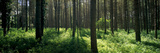 Coniferous Trees in a Forest  Thetford Forest  Norfolk  England