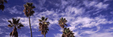 Low Angle View of Palm Trees  Southern California  California  USA