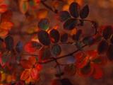 Autumn Leaves  Colorado  USA