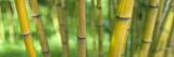 Close-Up of Bamboo  California  USA