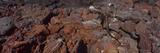 Marine Iguana (Amblyrhynchus Cristatus) on Volcanic Rock  Isabela Island  Galapagos Islands  Ecu