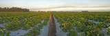 Cultivated Strawberry Field  Oxnard  Ventura County  California  USA