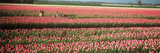 Mother and Daughters in Field of Red Tulips  Alkmaar  Netherlands
