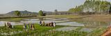 Women in a Rice Field  Jaypore  Koraput District  Orissa  India