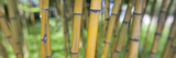 Close-Up of Bamboo  California  USA