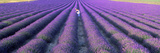 Woman Walking Through Fields of Lavender  Provence-Alpes-Cote D'Azur  France
