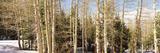Birch Trees on a Mountain  Ebbetts Pass  Sierra Nevada  Alpine County  California  USA
