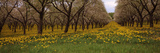 Blooming Dandelions and Cherry Trees in a Park  Traverse City  Grand Traverse County  Michigan  USA