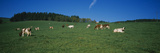 Herd of Cows Grazing in a Field  St Peter  Black Forest  Germany