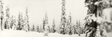 Snow Covered Evergreen Trees at Stevens Pass  Washington State  USA